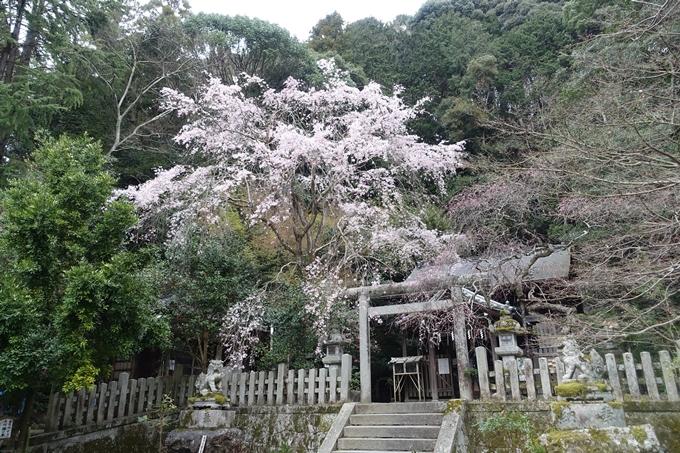 京都桜速報2019_10 No5