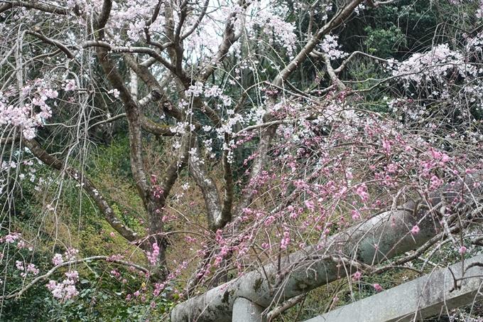 京都桜速報2019_10 No12