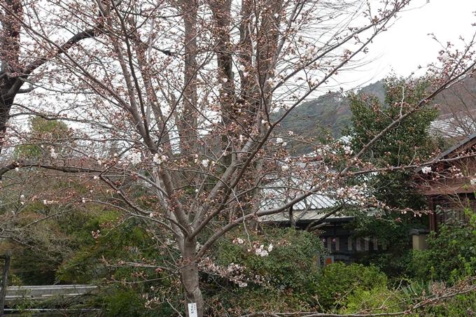 京都桜速報2019_09 No11