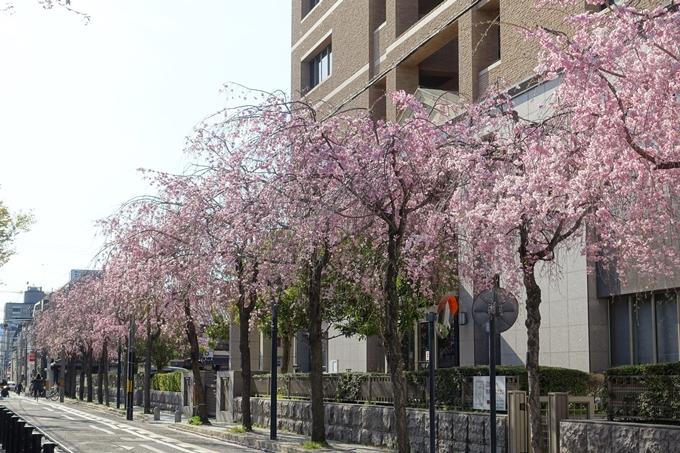 京都桜速報2019_37 No14