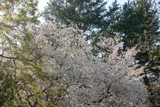 京都桜速報2019_38 No5