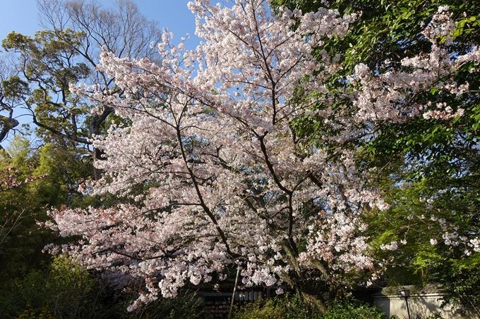 京都桜速報2019_38 No20