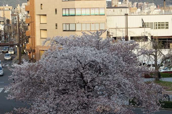 京都桜速報2019_40 No11
