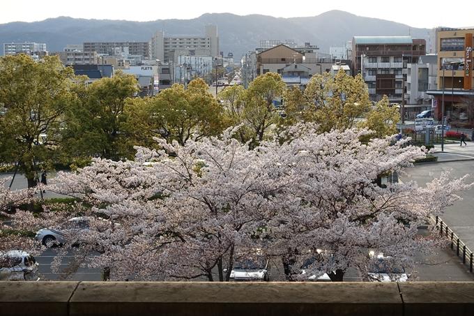 京都桜速報2019_40 No13