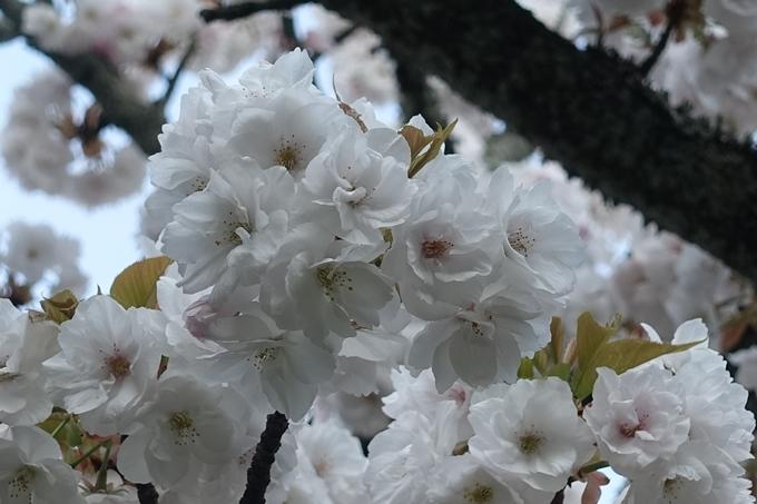 京都桜速報2019_43 No5