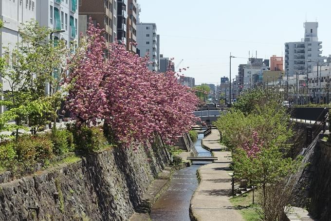 京都桜速報2019_45 No2