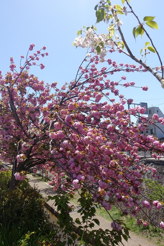京都桜速報2019_45 No4