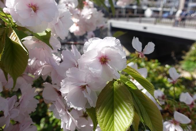 京都桜速報2019_45 No16