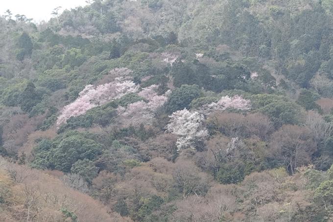 京都桜速報2019_12 No3