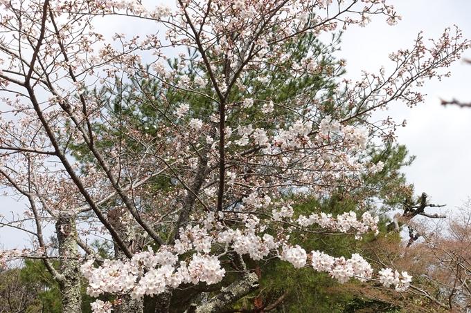 京都桜速報2019_12 No8