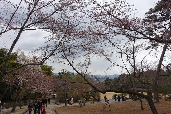 京都桜速報2019_12 No13