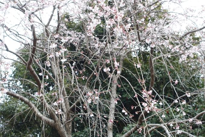 京都桜速報2019_12 No15
