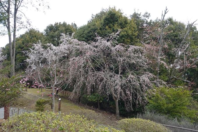 京都桜速報2019_12 No16