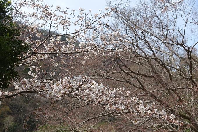 京都桜速報2019_12 No18