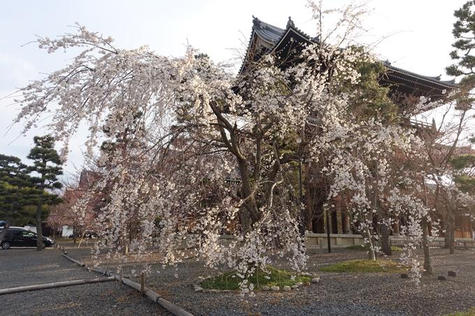 京都桜速報2019_13 No9