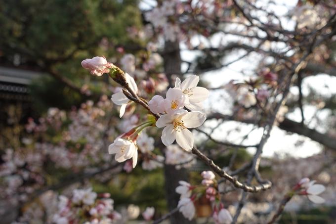 京都桜速報2019_13 No11