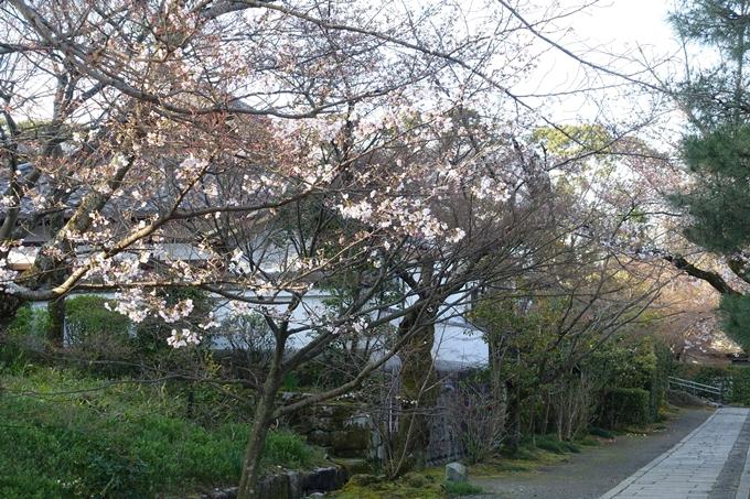 京都桜速報2019_14 No15