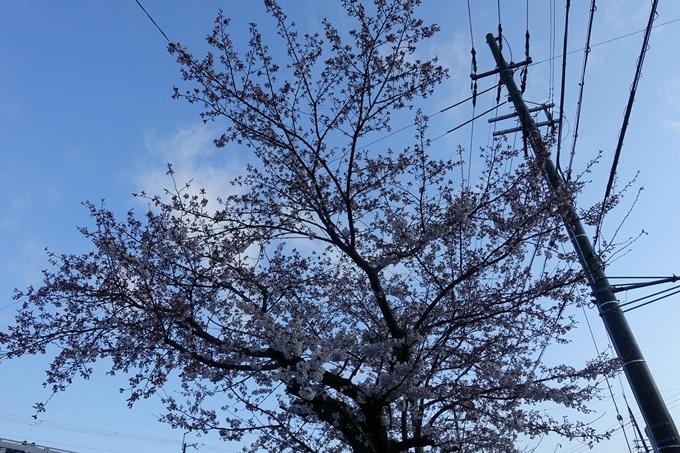 京都桜速報2019_15 No5