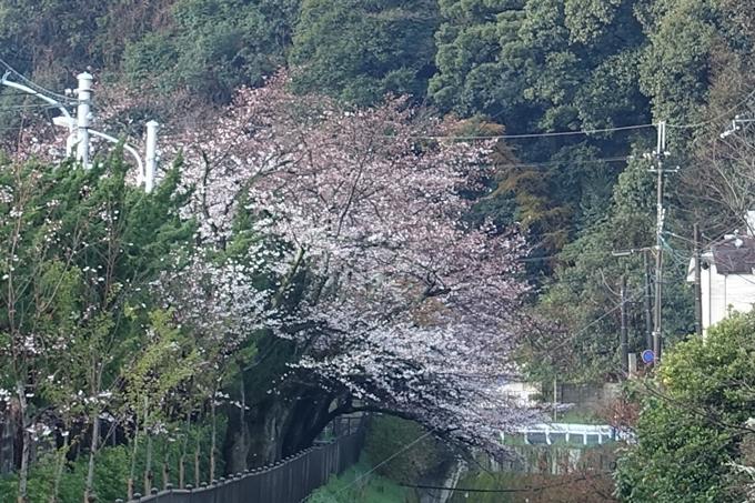 京都桜速報2019_15 No7