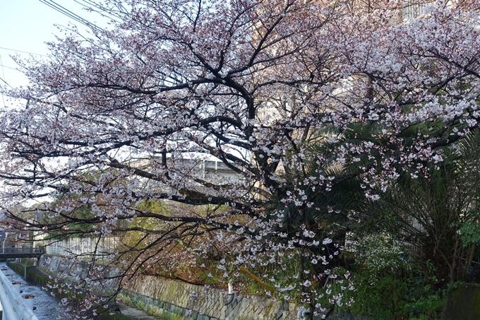 京都桜速報2019_15 No9