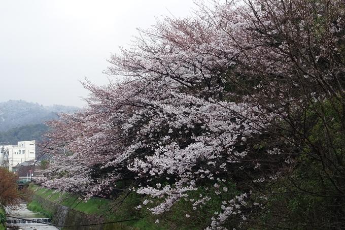 京都桜速報2019_16 No6