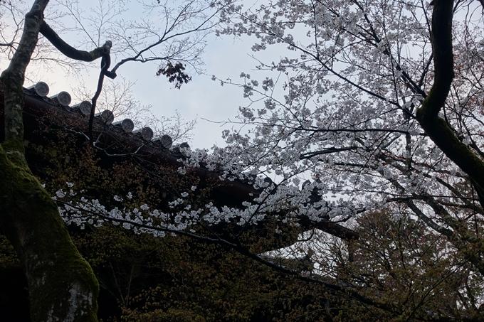 京都桜速報2019_16 No8