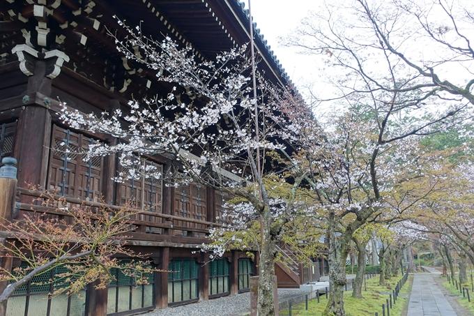 京都桜速報2019_16 No9