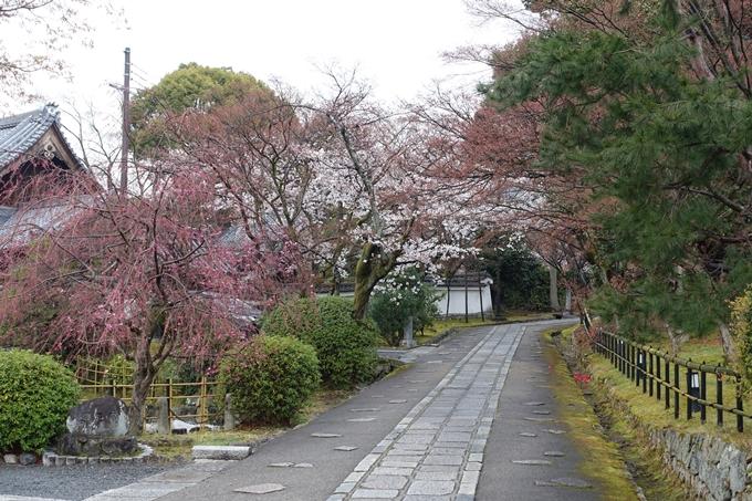 京都桜速報2019_16 No11