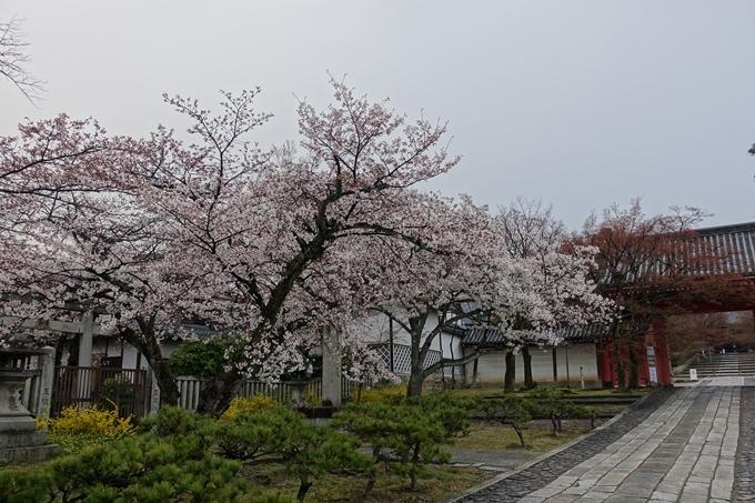 京都桜速報2019_16 No13
