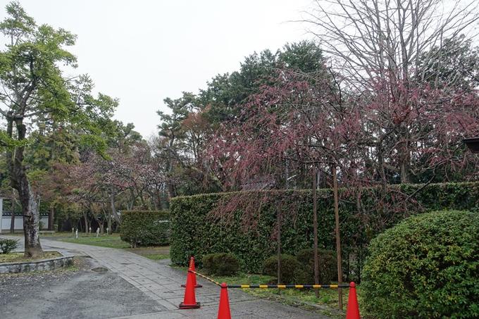 京都桜速報2019_17 No8