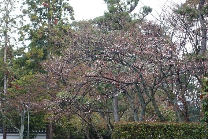 京都桜速報2019_17 No10