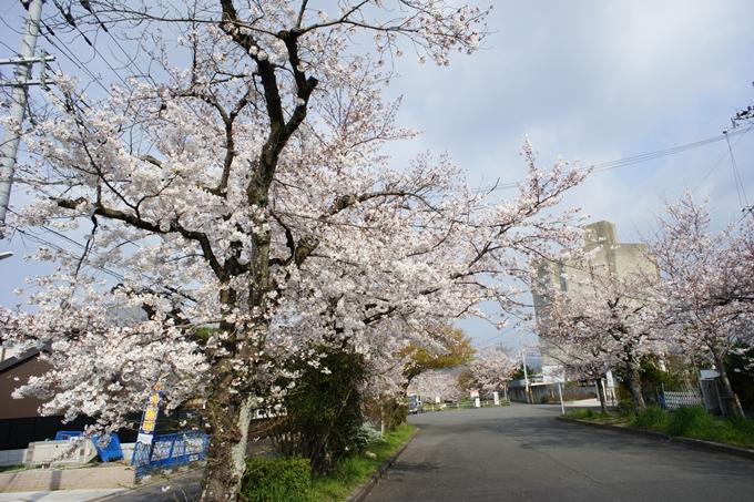 京都桜速報2019_27 No2