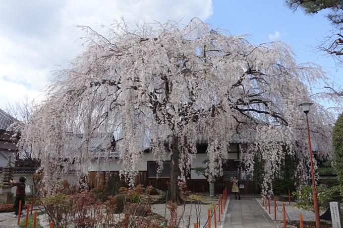 京都桜速報2019_19 No3
