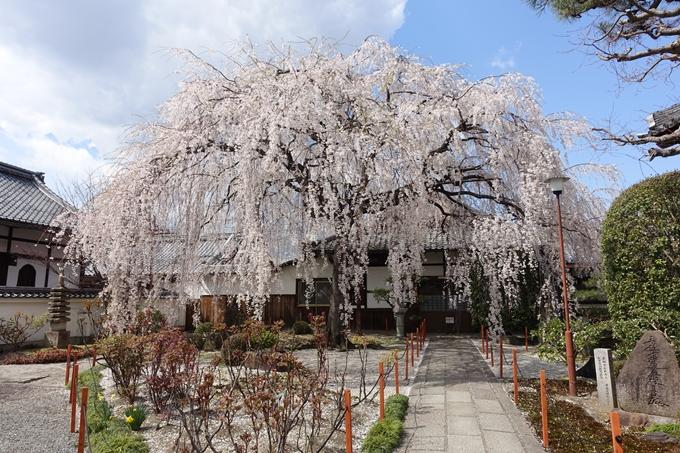 京都桜速報2019_19 No4