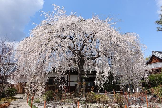 京都桜速報2019_19 No5