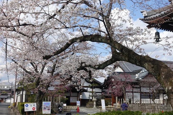 京都桜速報2019_19 No10