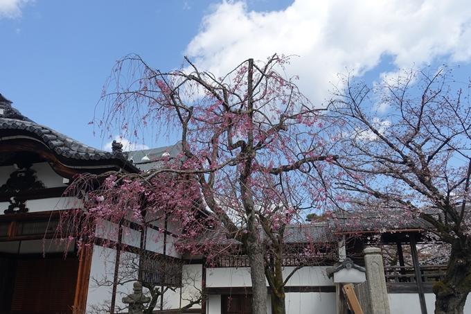 京都桜速報2019_19 No12