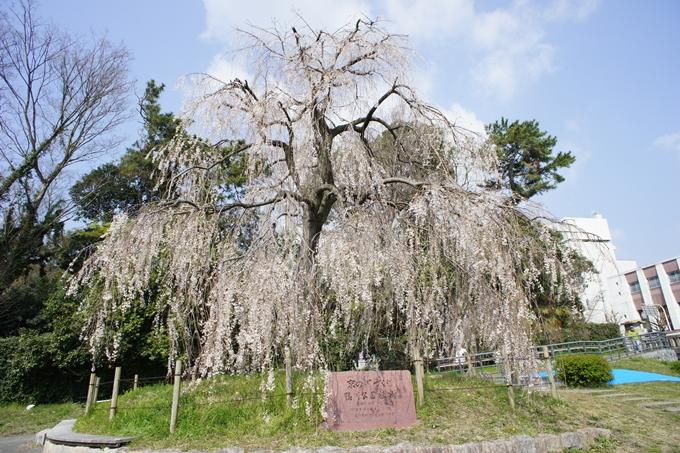 京都桜速報2019_28 No6