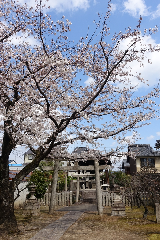 京都桜速報2019_19 No14