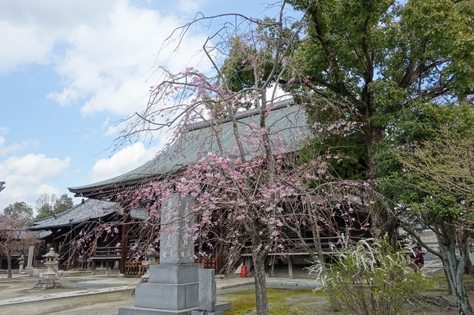 京都桜速報2019_19 No16