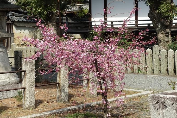 京都桜速報2019_19 No26