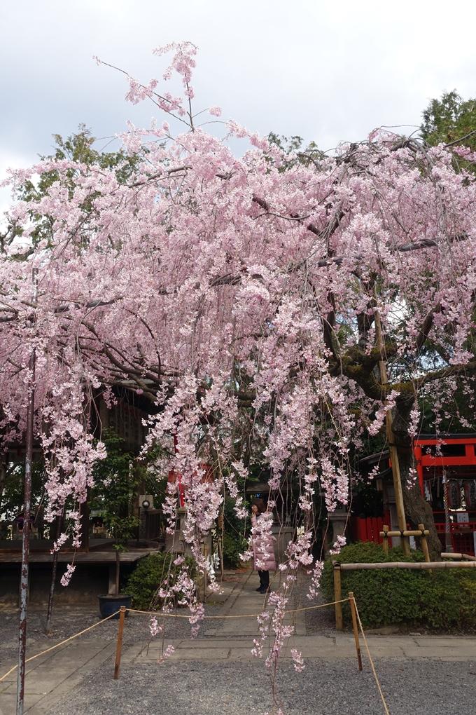 京都桜速報2019_19 No30