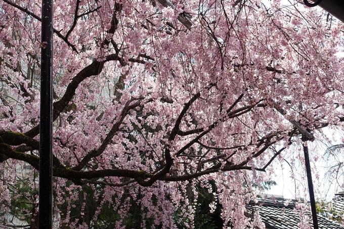 京都桜速報2019_19 No36