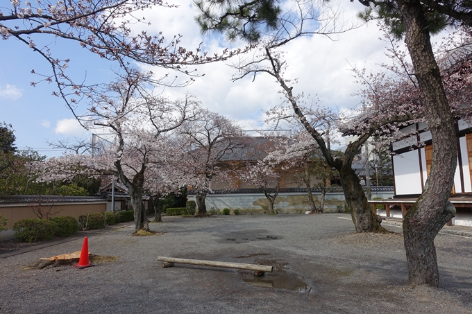 京都桜速報2019_20 No5