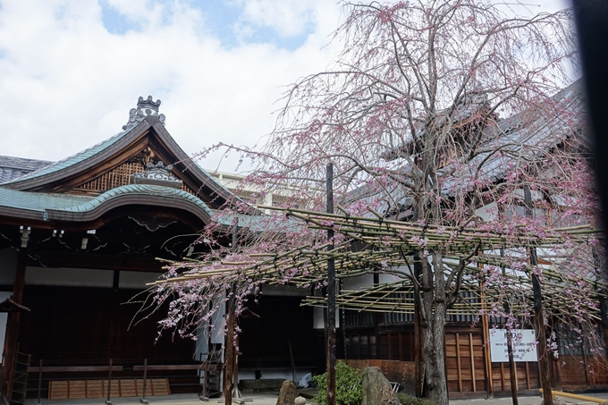京都桜速報2019_20 No6