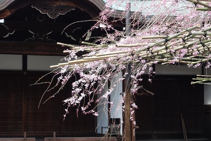 京都桜速報2019_20 No7