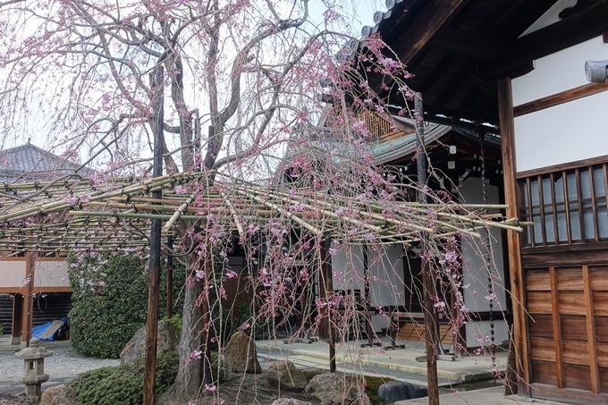 京都桜速報2019_20 No8