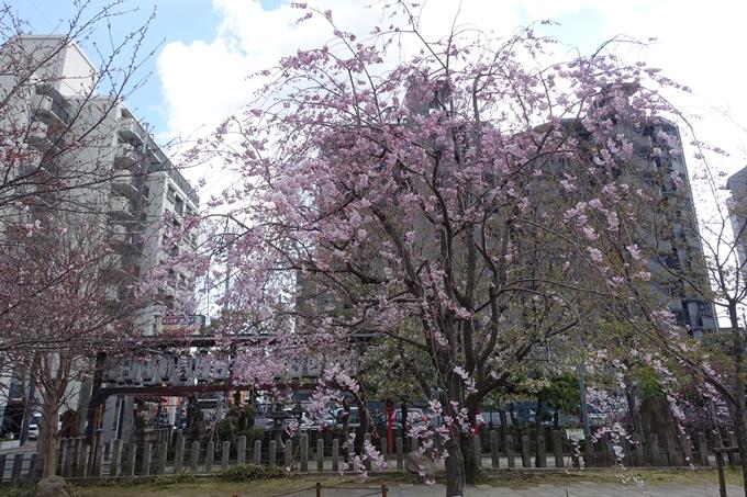 京都桜速報2019_20 No19