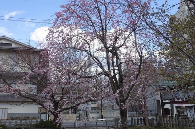 京都桜速報2019_20 No20