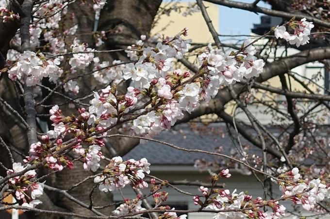 京都桜速報2019_20 No21